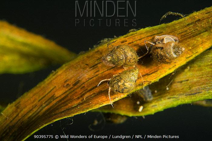 Minute snails on a narrow freshwater plant leaf, Danube Delta, Romania, June  -  WWE/ Lundgren/ npl
