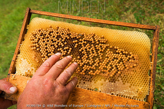Eggs of drone honey bees (Apis melifera) on honey comb frame of hive, next to forest Valea Fagilor close to Macin Mountains National Park, Romania, June  -  WWE/ Lundgren/ npl