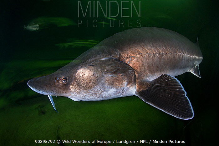 European sturgeon (Huso huso) captive at Danube Delta Eco-Tourism Museum Centre aquarium in Tulcea, Danube Delta, Romania, June Critically endangered  -  WWE/ Lundgren/ npl