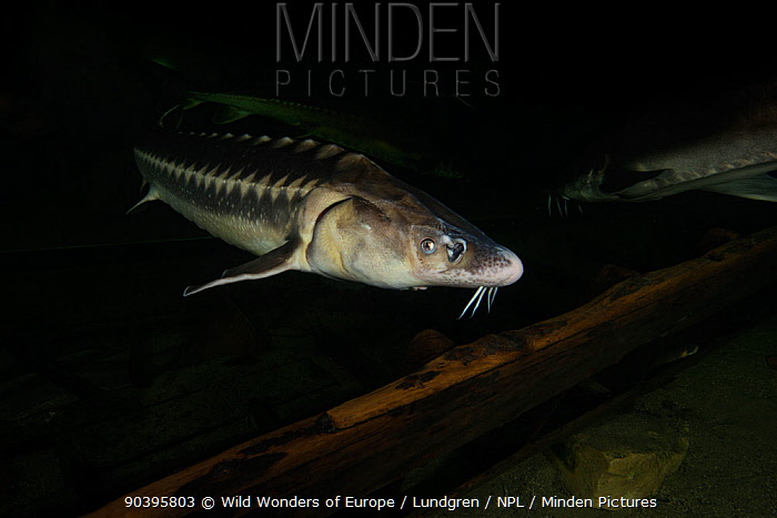 Russian sturgeon (Acipenser gueldenstaedtii) captive at Danube Delta Eco-Tourism Museum Centre aquarium in Tulcea, Danube Delta, Romania, June Critically endangered  -  WWE/ Lundgren/ npl