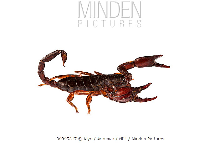 Small wood-scorpion (Euscorpius concinnus) Genova, Liguria, Italy Meetyourneighboursnet project  -  MYN/ ACREMAR/ npl