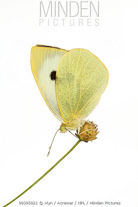 Cabbage white butterfly (Pieris rapae) Ovada, Piemonte, Italy Meetyourneighboursnet project  -  MYN/ ACREMAR/ npl