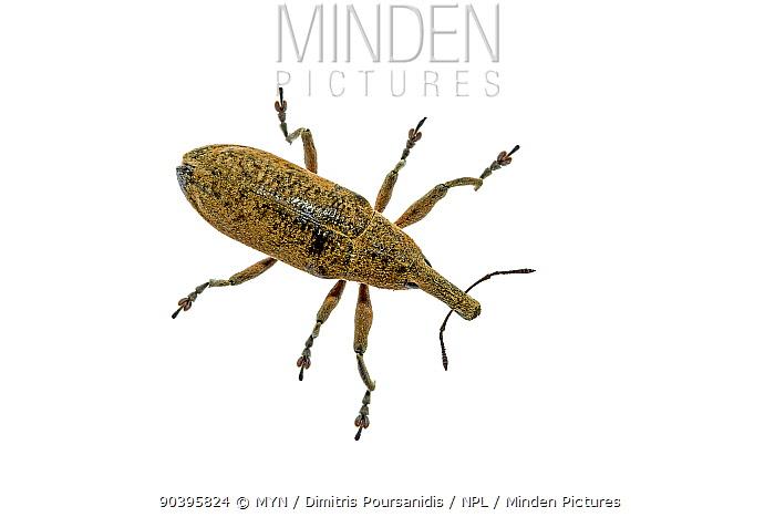 Weevil beetle (Lixus sp) Crete, Greece Meetyourneighboursnet project  -  MYN/ Dimitris Poursanidis/ npl