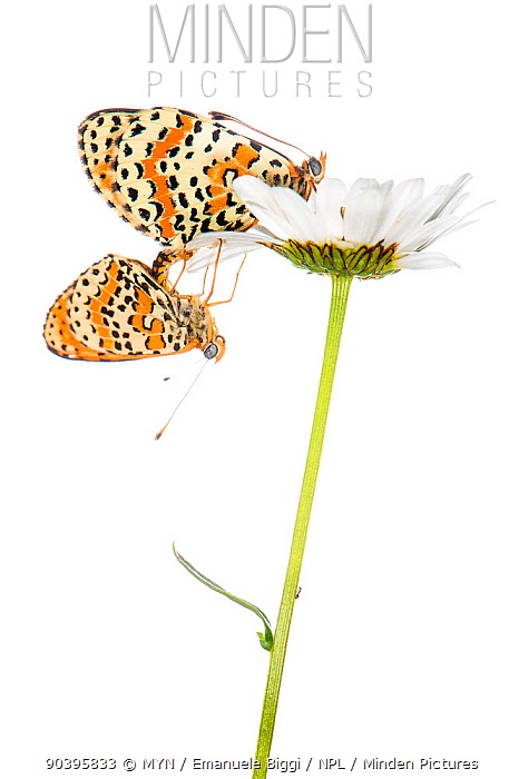 Spotted Fritillary butterfly (Melitaea didyma) mating pair on daisy, Italy, June Meetyourneighboursnet project  -  MYN/ Emanuele Biggi/ npl