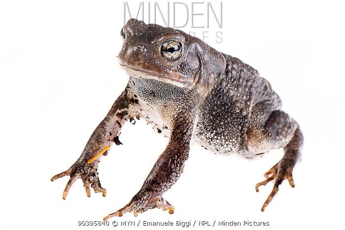 African common toad (Amietophrynus regularis) adult male, Botswana, April Meetyourneighboursnet project  -  MYN/ Emanuele Biggi/ npl