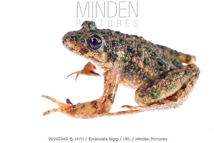 Parsley frog (Pelodytes punctatus) adult male, Imperia, Italy, March Meetyourneighboursnet project  -  MYN/ Emanuele Biggi/ npl