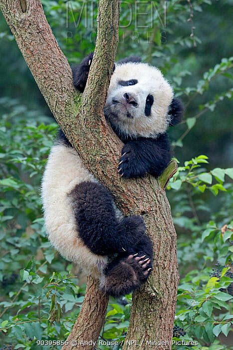 Giant Panda (Ailuropoda melanoleuca) cub climbing tree Chengdu, China Captive  -  Andy Rouse/ npl