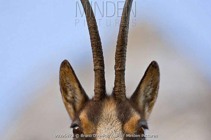 Apennine chamois (Rupicapra pyrenaica ornata) adult female close up of head and horns Endemic to the Apennine mountains Abruzzo, Italy, November  -  Bruno D'amicis/ npl