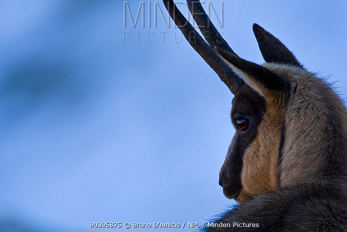 Apennine chamois (Rupicapra pyrenaica ornata) adult male portrait Endemic to the Apennine mountains Abruzzo, Italy, November  -  Bruno D'amicis/ npl