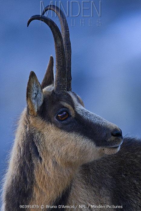 Apennine chamois (Rupicapra pyrenaica ornata) adult male portrait Endemic to the Apennine mountains Abruzzo, Italy, November  -  Bruno D'amicis/ npl