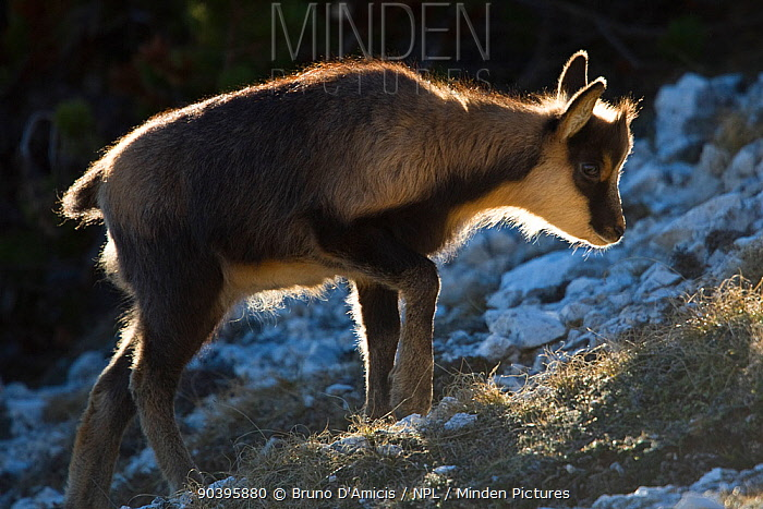 Apennine chamois (Rupicapra pyrenaica ornata) kid portrait Endemic to the Apennine mountains Abruzzo, Italy, November  -  Bruno D'amicis/ npl
