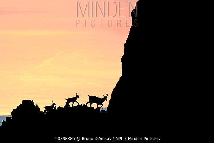Apennine chamois (Rupicapra pyrenaica ornata) female and kids silhouetted against the waters of Adriatic Sea at sunrise Endemic to the Apennine mountains Majella National Park Abruzzo, Italy, July  -  Bruno D'amicis/ npl