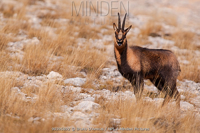 Apennine chamois (Rupicapra pyrenaica ornata) adult male grunting during the rut Endemic to the Apennine mountains Abruzzo, Italy, November  -  Bruno D'amicis/ npl