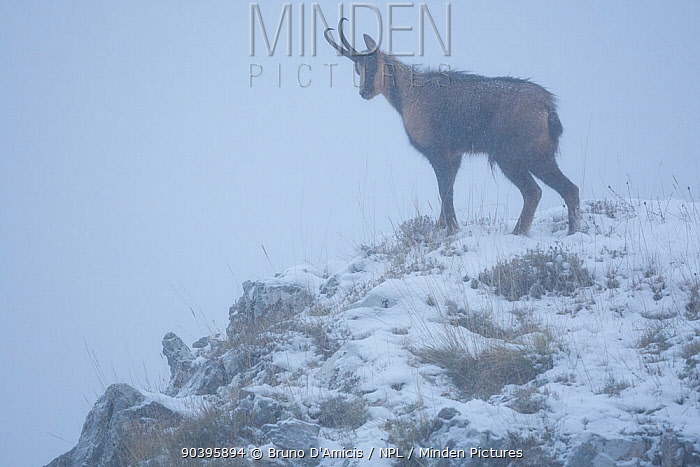 Apennine chamois (Rupicapra pyrenaica ornata) adult male in mist and snow Endemic to the Apennine mountains Abruzzo, Italy, November  -  Bruno D'amicis/ npl