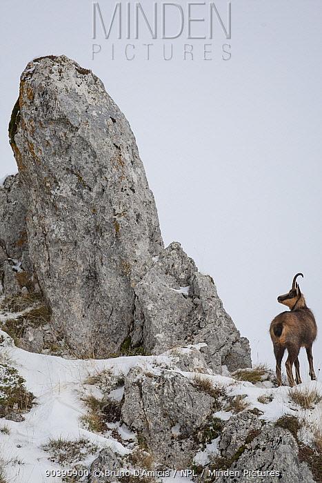Apennine chamois (Rupicapra pyrenaica ornata) adult male in snowy mountain habitat Endemic to the Apennine mountains Abruzzo, Italy, November  -  Bruno D'amicis/ npl