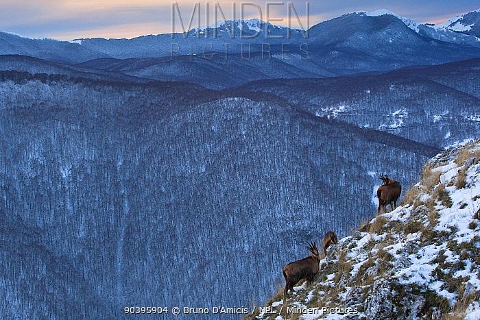 Apennine chamois (Rupicapra pyrenaica ornata) females with kid in snowy mountain habitat Endemic to the Apennine mountains Abruzzo, Italy, November  -  Bruno D'amicis/ npl