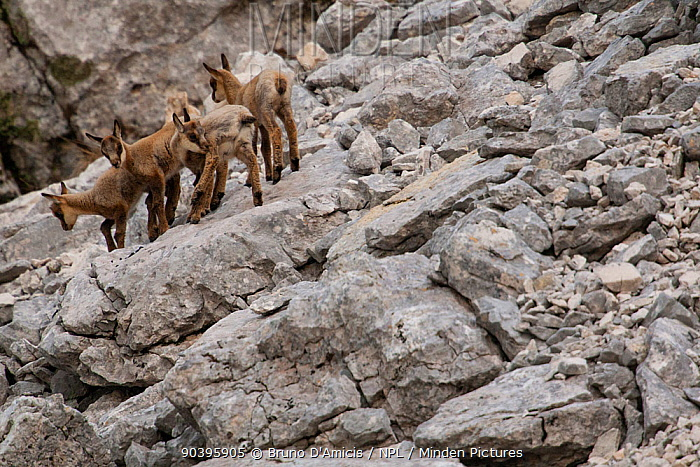Apennine chamois (Rupicapra pyrenaica ornata) group of kids among rocks Endemic to the Apennine mountains Abruzzo, Italy, June  -  Bruno D'amicis/ npl