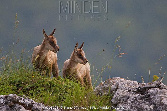Apennine chamois (Rupicapra pyrenaica ornata) kids Endemic to the Apennine mountains Abruzzo, Italy, July  -  Bruno D'amicis/ npl