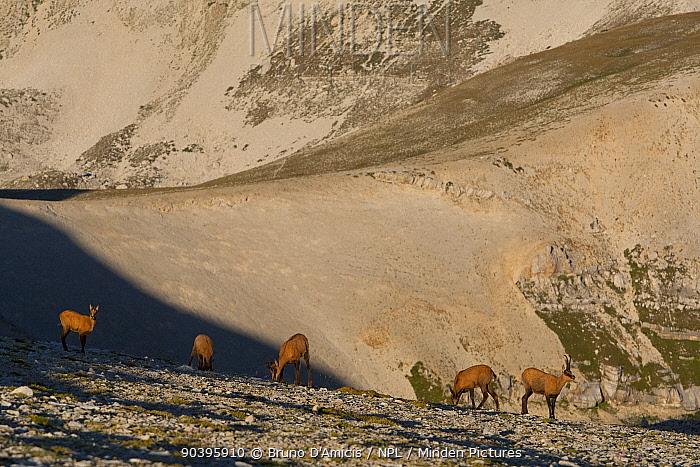 Apennine chamois (Rupicapra pyrenaica ornata) herd on altitude plateau of Majella Massif Endemic to the Apennine mountains Majella National Park Abruzzo, Italy, August  -  Bruno D'amicis/ npl