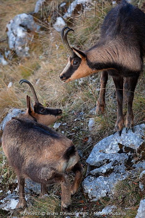 Apennine chamois (Rupicapra pyrenaica ornata) adult male approaching female Endemic to the Apennine mountains Abruzzo, Italy, November  -  Bruno D'amicis/ npl
