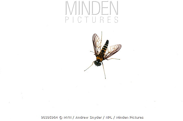 Ornate Snipe fly (Chrysopilus sp) Owings Mills, Maryland, USA Meetyourneighboursnet project  -  MYN/ Andrew Snyder/ npl