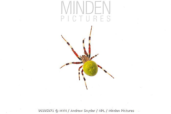 Neotropical orbweaver spider (Eriophora sp) Surama, Guyana Meetyourneighboursnet project  -  MYN/ Andrew Snyder/ npl
