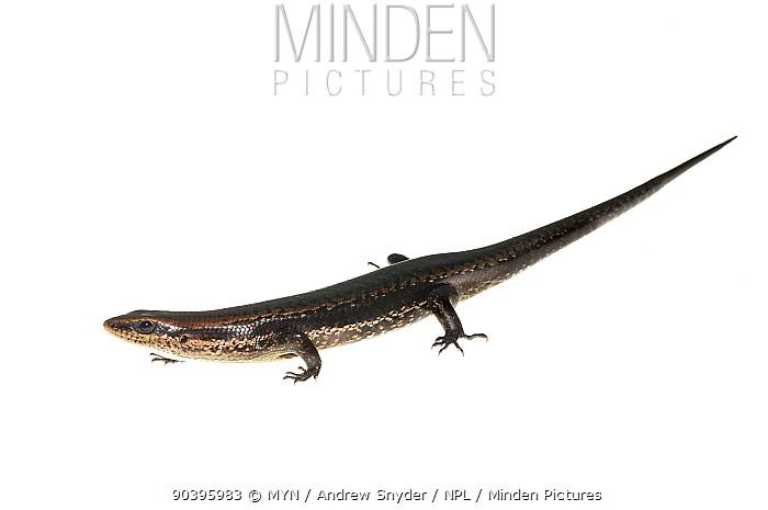 Skink (Mabuya nigropunctata) Kanuku Mountains, Guyana Meetyourneighboursnet project  -  MYN/ Andrew Snyder/ npl