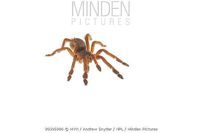 Tarantula (Tapinauchenius sp) Iwokrama, Guyana Meetyourneighboursnet project  -  MYN/ Andrew Snyder/ npl