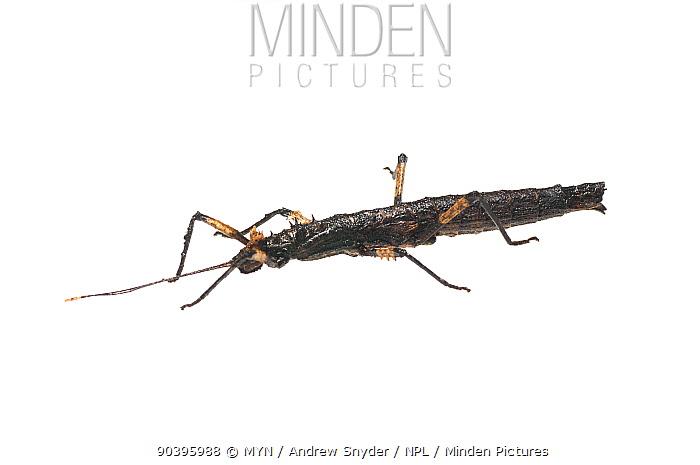 Stick insect (Phasmatodea) Surama, Guyana Meetyourneighboursnet project  -  MYN/ Andrew Snyder/ npl