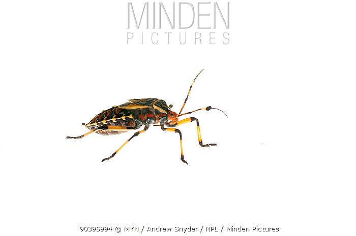 Giant mesquite bug nymph (Thasus sp) Iwokrama, Guyana Meetyourneighboursnet project  -  MYN/ Andrew Snyder/ npl