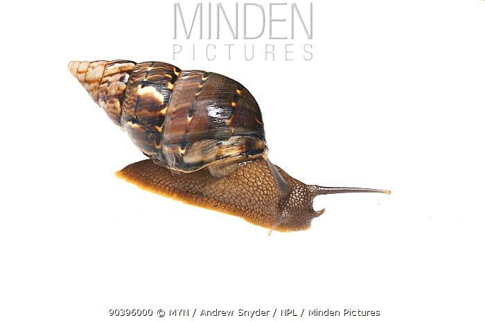 Terrestrial snail (Gastropoda) Iwokrama, Guyana Meetyourneighboursnet project  -  MYN/ Andrew Snyder/ npl