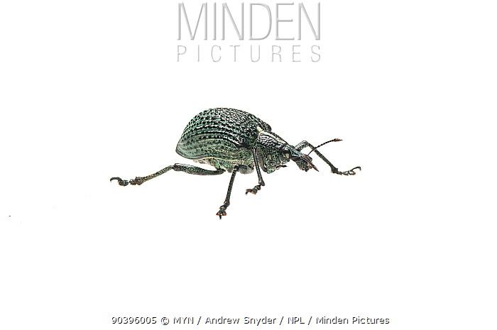 Weevil (Curculionidae) Iwokrama, Guyana Meetyourneighboursnet project  -  MYN/ Andrew Snyder/ npl
