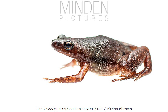 Microhylid frog (Chiasmocleis sp) Kanuku Mountains, Guyana Meetyourneighboursnet project  -  MYN/ Andrew Snyder/ npl