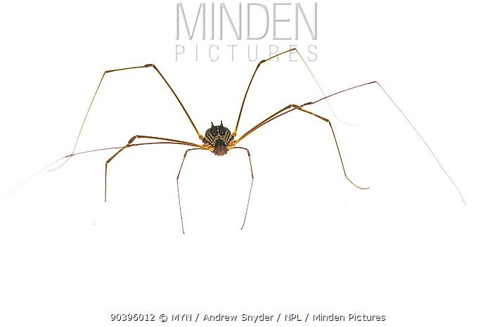 Harvestman (Opilioniidae) Iwokrama, Guyana Meetyourneighboursnet project  -  MYN/ Andrew Snyder/ npl