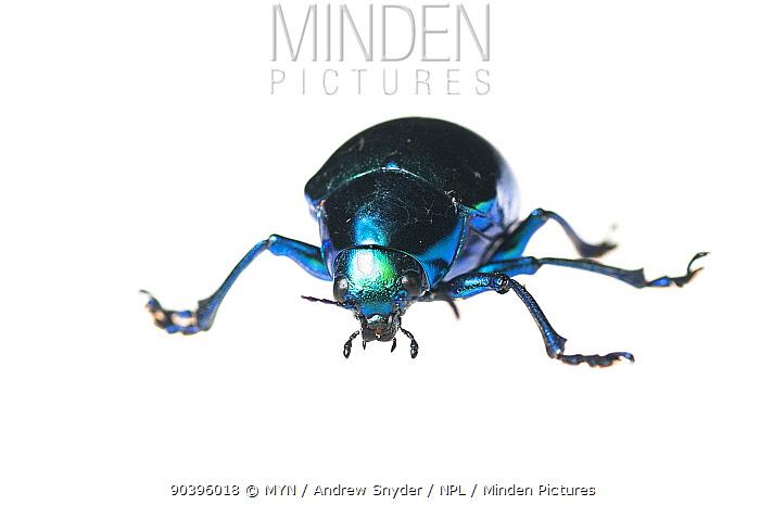 Leaf beetle (Eumolpus sp) Iwokrama, Guyana Meetyourneighboursnet project  -  MYN/ Andrew Snyder/ npl