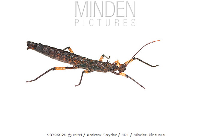 Spiny stick insect (Creoxylus spinosus) Iwokrama, Guyana Meetyourneighboursnet project  -  MYN/ Andrew Snyder/ npl