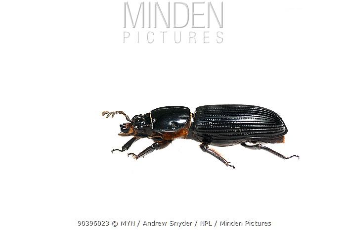 Bess beetle (Passalidae) Surama, Guyana Meetyourneighboursnet project  -  MYN/ Andrew Snyder/ npl