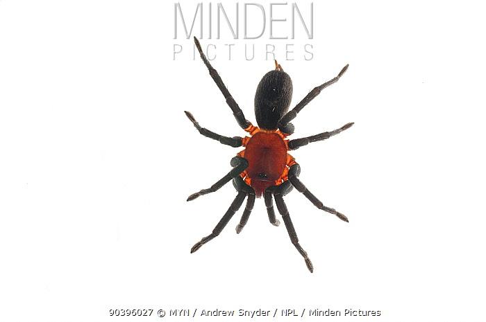 Brazilian redhead tarantula (Maraca cabocla) Surama, Guyana Meetyourneighboursnet project  -  MYN/ Andrew Snyder/ npl