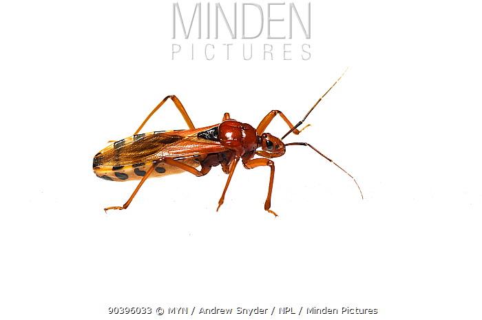 Assassin bug (Reduvidae) Kusad Mountain, Guyana Meetyourneighboursnet project  -  MYN/ Andrew Snyder/ npl