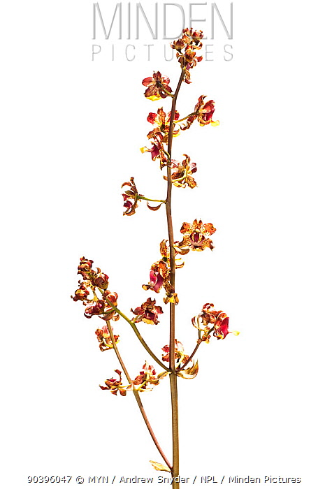Unidentified orchid (Orchidaceae) Parabara, Guyana Meetyourneighboursnet project  -  MYN/ Andrew Snyder/ npl