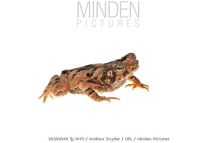 Crested toad (Rhinella martyi) Parabara, Guyana Meetyourneighboursnet project  -  MYN/ Andrew Snyder/ npl