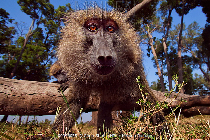 Olive baboon (Papio anubis) approaching with curiosity Masai Mara National Reserve, Kenya Taken with remote wide angle camera  -  Anup Shah/ npl