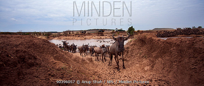 Eastern white-bearded wildebeest (Connochaetes taurinus) herd crossing the Mara River watched by tourists Masai Mara National Reserve, Kenya Taken with remote wide angle camera  -  Anup Shah/ npl