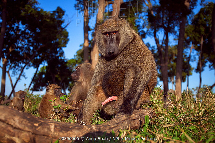 Olive baboon (Papio anubis) male watching with curiosity Masai Mara National Reserve, Kenya Taken with remote wide angle camera  -  Anup Shah/ npl