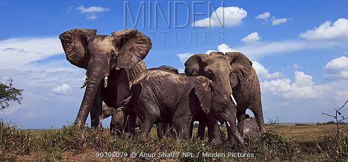 African elephants (Loxodonta africana) gathering at a waterhole Masai Mara National Reserve, Kenya Taken with remote wide angle camera  -  Anup Shah/ npl