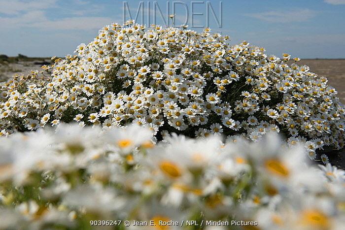 Seaside chamomile (Anthemis maritima) in flower, Camargue, France June  -  Jean E. Roche/ npl