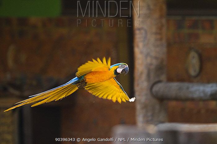 Blue-and-yellow Macaw (Ara ararauna) in flight in front of building, Brazil  -  Angelo Gandolfi/ npl