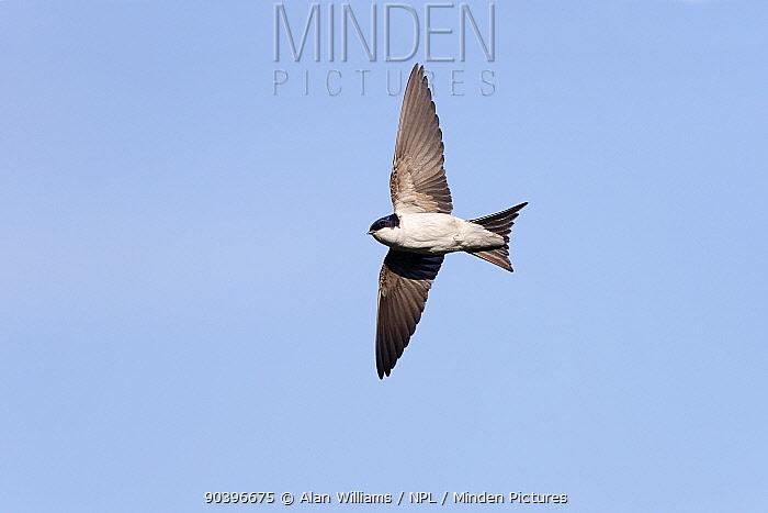 House Martin (Delichon urbica) in flight, Wirral, Merseyside, UK, August  -  Alan Williams/ npl