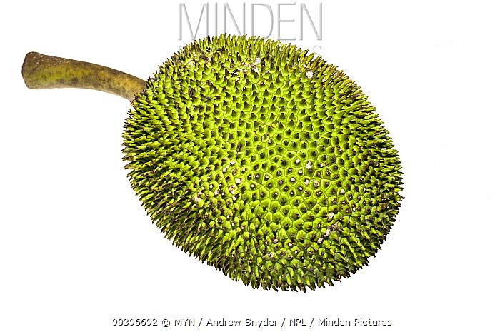 Jackfruit (Artocarpus heterophyllus) Chenapau, Guyana Meetyourneighboursnet project  -  MYN/ Andrew Snyder/ npl