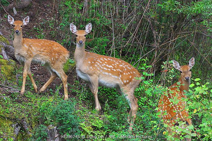 Sichuan red deer (Cervus elaphus macneilli) | ZooChat